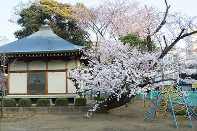 150331sakura1_blog