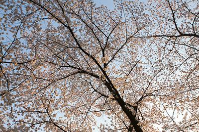150331sakura3_blog