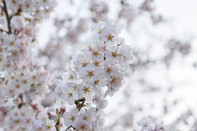 150331sakura4_blog