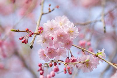150331sakura6_blog